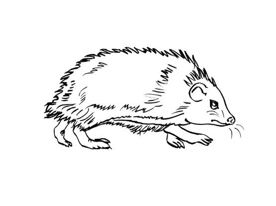 Coloriage Herisson.Coloriage Herisson 1 Coloriage Herissons Coloriages Animaux