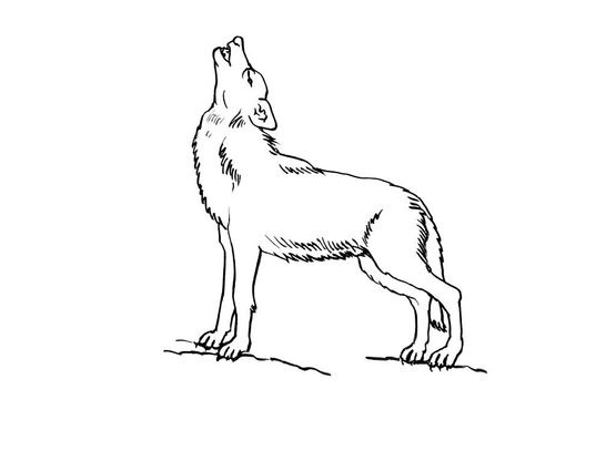 Coloriage Famille Loup.Coloriage Loup 8 Coloriage Loups Coloriages Animaux