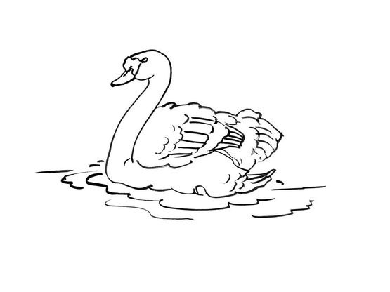 Coloriage cygne 14 coloriage cygnes coloriages animaux - Coloriage cygne ...