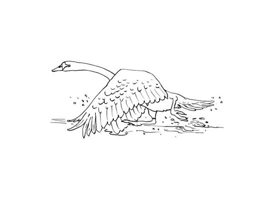 Coloriage cygne 9 coloriage cygnes coloriages animaux - Coloriage cygne ...