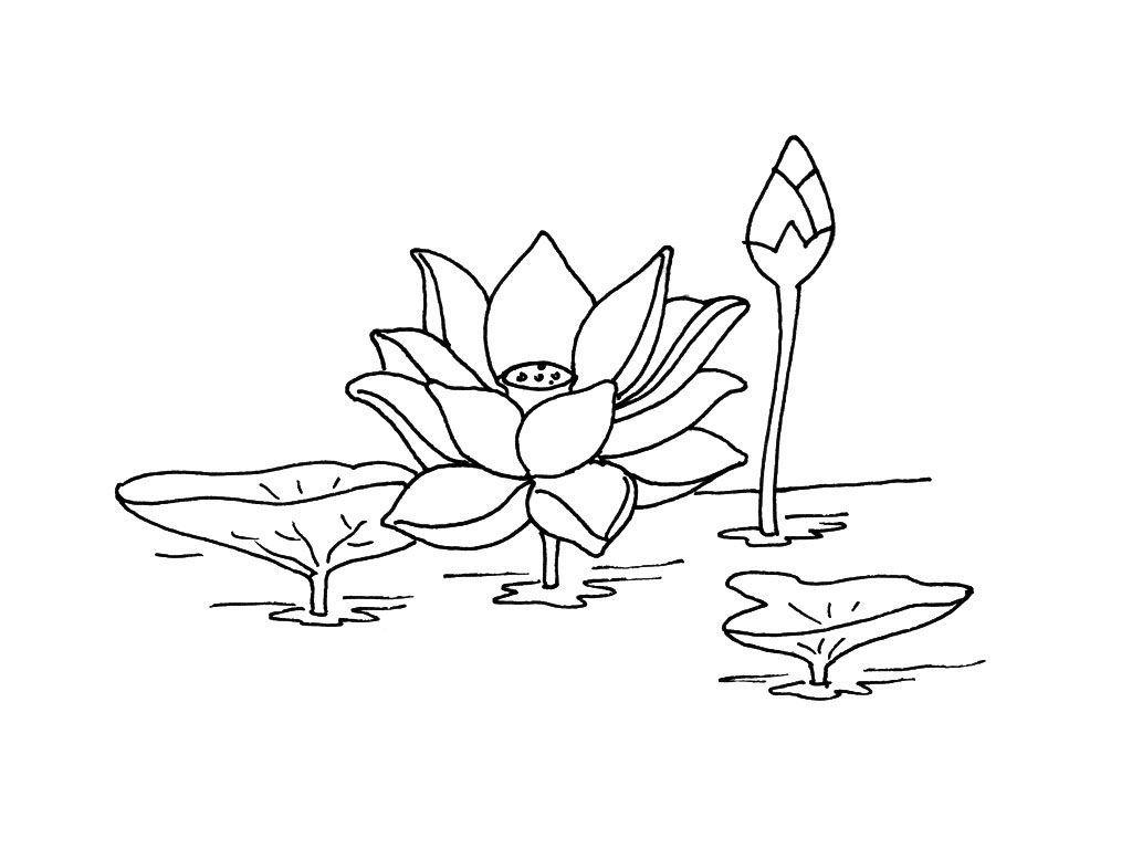 лотос орехоносный картинка для раскрашивания